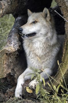 Taking A Rest Claire Robertson Wolf Pictures Beautiful Wolves Wild Dogs Animal