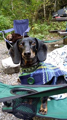 """Camping with my human"" #Doxie #selfie"
