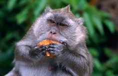 Grey Monkey eating in Grand Bassin.