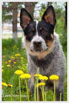 Australian Cattle Dog and yellow flowers:)