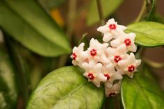 Hoya is a super sweet vine plant with thick green and white leaves. If you keep it in medium or high light and water and drain it every two weeks, it'll bloom with little clusters of very fragrant, star-shaped flowers. Indoor Green Plants, Indoor Flowers, Plants Near Me, White Leaf, Star Shape, Houseplants, Vines, Home And Garden, Bloom
