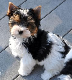Yorkies, Biewer Yorkie, Yorkie Dogs, Pet Dogs, Pets, Corgi Puppies, Weiner Dogs, Yorkie Puppy For Sale, Cute Dogs And Puppies