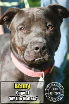 11 Benny is an adoptable Pit Bull Terrier searching for a forever family near Canton, OH. Use Petfinder to find adoptable pets in your area.