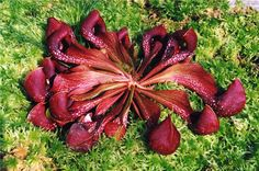 9 Insectivorous Plants You May Not Hear Of - EnkiVillage