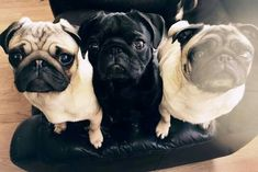 a grumble of pugs x D