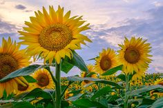 _LCH6808 Kansas sunflowers