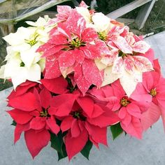 poinsettias | Whatever the color, shape or size, poinsettias brighten your home at ...