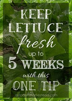Keeping Lettuce Fresh for up to 5 weeks with this one tip!! Super easy!! Amazing!!