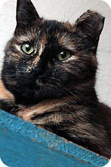 St. Louis, MO - Domestic Shorthair. Meet Ruth Bader Ginsburg, a cat for adoption. http://www.adoptapet.com/pet/14465614-st-louis-missouri-cat