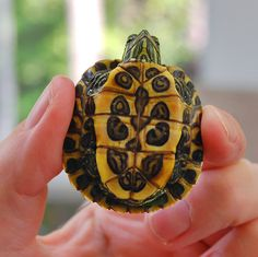Red Eared Slider Turtle...I want one of these little guys again!! So little & cute!