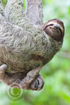 I'm happy inside all of the time!! - A Brown-throated Three-Toed Sloth and Her Baby, via Flickr.