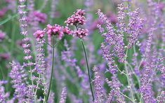 Article: How to grow Russian sage. From the how to grow board Plants, Plant Combinations, Yellow Daisies, Planting Flowers, Russian Sage, Perovskia Blue Spire, Xeriscape, Salvia, Prairie Planting