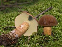 Bay Bolete, pored mushroom, Boletus badius, Xerocomus badius, Family: Boletaceae, Location: Coniferous forest, Southern Germany, Baden-Württemberg, Ulm.