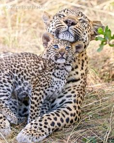 """Suzi Eszterhas Photography : """"Seven-week-old leopard cub nuzzling mother at the jao reserve in the Okavango Delta in Botswana. The cubs seek physical contact. Cute Baby Animals, Animals And Pets, Funny Animals, Wild Animals, Big Cats, Cats And Kittens, Cute Cats, Beautiful Cats, Animals Beautiful"""