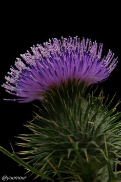 Pretty Purple Thistle Flower