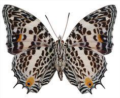 Baeotus (Megistanis) Deucalión - Underside, cepillo de patas Mariposa