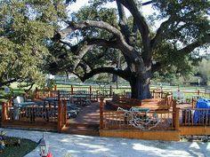 The Oaks Cafe ~ Warrenton, TX ~ Largest Live Oak Tree in Round Top area.  Beautiful!