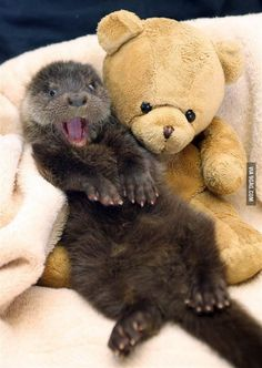 Just an otter, loving his teddy bear.