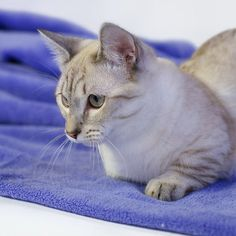 Манчкин Каспер. Casper. Munchkin. #munchkin #cat #cattery #lovely #songofice #supercat #Casper #moscow #russia #манчкин #каспер #суперкот #котэ #безкотажизньнета #кошкатакса #котгусеница #питомник #питомниккошек #munchkincat
