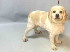 A1081699  MALE, BROWN / WHITE, COCKER SPAN MIX, 5 yrs STRAY – STRAY WAIT, NO HOLD Reason STRAY Intake condition EXAM REQ Intake Date 07/18/2016, From NY 11373, DueOut Date07/21/2016, I came in with Group/Litter #K16-066051.