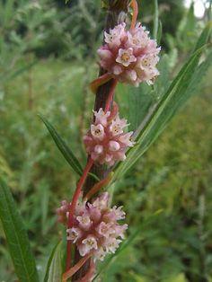 Повили́ка (Cuscuta).Не имеет корней и листьев. Обвивается вокруг растения-хозяина, внедряет в его ткань «присоски» (гаустории) и питается его соками. Способна находить жертву, улавливая запах растений.