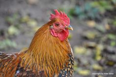 Mable the rooster