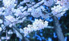 仙台、榴ヶ岡公園のサクラ