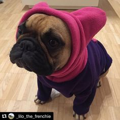 From Instagram: @_lilo_the_frenchie 👉🏼 Cold ears problem in winter solved✔️😁😆 Thanks a lot @snorfindustries 💗💜💗 #frenchie #frenchies #french #bulldog #frenchbulldog #frenchbulldogs #bulldog #bulldogs