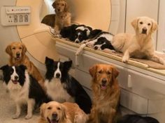 In a study done that trained dogs to lie still in an M.R.I. scanner, scientists found that dogs' brains respond to familiar sounds & smells showing that they do love us.