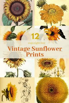 Sunflowers must be the sunniest of flowers. Here is a fabulous collection of copyright free vintage Sunflower Drawing, Sunflower Print, Sunflower Paintings, Sunflower Canvas, Sunflower Illustration, Botanical Illustration, Bird Illustration, Vintage Design, Vintage Prints