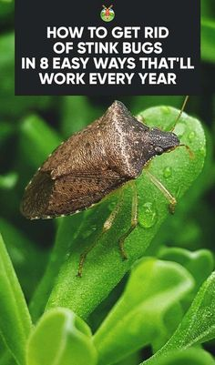 How to Get Rid of Stink Bugs In 8 Easy Ways That'll Work Every Year Living in the south means you have a stinkbug problem come fall and winter. With these tried and tested 8 tips, we show you how to get rid of stink bugs Garden Bugs, Garden Insects, Garden Pests, Garden Rake, Garden Planters, Garden Tools, Bug Control, Pest Control, Mice Control