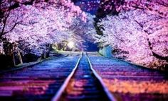 15 Interesting Facts About Cherry Blossoms