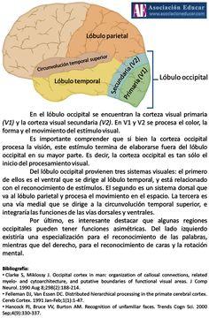 Infografía de uso libre, sólo se pide citar la fuente (Asociación Educar). En el lóbulo occipital se encuentran la corteza visual primaria (V1) y la corteza visual secundaria (V2). En V1 y V2 se procesa el color, la forma y el movimiento del estímulo visual. Es importante comprender que si bien la corteza occipital procesa la visión, este estímulo termina de elaborarse fuera del lóbulo occipital en su mayor parte. Es decir, la corteza occipital es tan sólo el inicio del procesamiento visual.