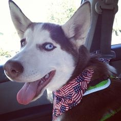 This dog wears that bandanna every day. | 23 Freedom-Lovin' Dogs