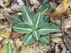 Rattlesnake-plantain, a wildflower found in the Smoky Mountains, TN