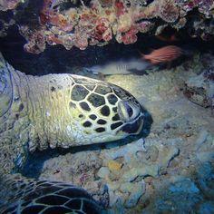 Friends meeting after long time!  #scuba #Hawaii #Gopro #diving with #whitetipreefshark #coralreef #greenseaturtle #oceanfloor #redsolidersfish with @hawaiiscubadiving #honolulu http://ift.tt/1Nc58Lt
