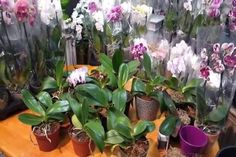 Ever wondered how Phalaenopsis orchids can obtain that beautiful cascade of flowers? Water Culture Orchids, Orchid Fertilizer, Orchid Planters, Greenhouse Plants, Plant Projects, Growing Orchids, Phalaenopsis Orchid, Yellow Leaves, Orchid Care