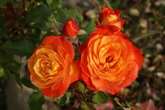 Guillaume | Ludwigs Roses : Dense clusters of double blooms. Pointed tight buds. Luminous orange with a yellow reverse. She grows willingly to hip height, displaying her pickable blooms on strong stems with many side shoots. Maintains a constant liveliness.