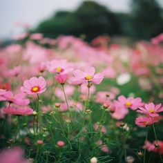 Cosmos Cosmos Flowers, Flowers Nature, Beautiful Flowers, Organic Mulch, Organic Gardening, Organic Horticulture, Great Hobbies, Green Lawn, Planting Vegetables