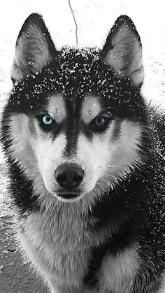 Beautiful sled dog photo!  0694fd29183ef2855aff45339c1a411b.jpg (420×746)