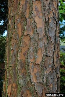 The Slash Pine - Pinus elliottii is a tall, straight, deciduous tree that can reach heights of feet on average. Growing in an uprig. Pine Beetle, Deciduous Trees, Firewood, Plants, Meet, Woodburning, Plant, Planets
