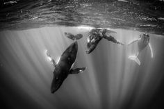 Photo by @jodymacdonaldphoto //Every year humpbacks swim thousands of miles from Antarctica to the tropical waters of French Polynesia to give birth to their young. I spent many weeks with these docile curious giants but on this particular occasion they swam directly at me then dove deep into the abyss. Suddenly they turned and spiraled back toward the surface surrounding me like whirling dervishes performing an elegant dance. One of the most memorable days I've had in the ocean. What have…