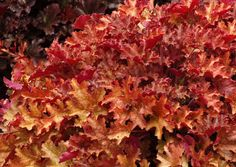 Heuchera 'Ginger Peach' Similar to 'Marmalade' with rose rather than orange tones and a bigger habit. A great low maintenance landscape plant that doesn't flower until the second year. Fills containers fast! A big clumping habit and wonderful ruffled leaves. Showy in all seasons, this vigorous plant has heavy substance standing up to inclement weather. Hardy to zone 4 or -30F