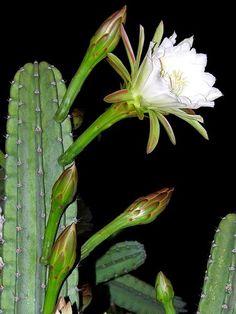 Trilhas de Luz: Flor de Mandacaru