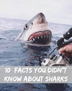 10 facts You Didn't Know About Great White Sharks - Most animals they pursue, after all, don't go down without a fight and during the fight, the great white shark can get hurt. In fact, many great white sharks have scars left behind by their previous attempts at meals. Wounds may heal but if a great white shark is blinded, it will never get its eyesight back and will have a hard time finding food in the future.