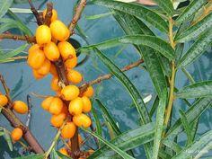 Rakitovec Krhlika zreli plodovi