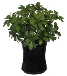 Artificial Mini Pittosporem Desk Top Plant in Vase