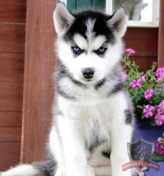 Siberian Husky puppy... Look at those eyes!