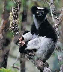 indri from Madagascar.