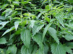 Brennesle - vårens nyttigste grønnsak